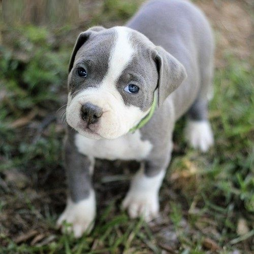 american pit bull terrier puppies for sale austin tx