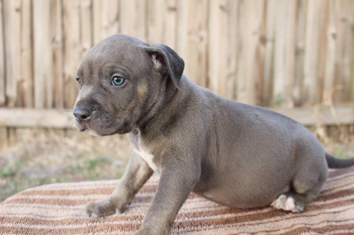 Pitbull puppies for sale in nj new jersey