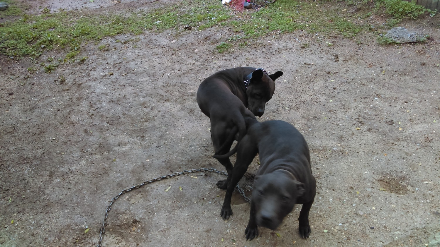 American Pit Bull Terrier Puppies For Sale Chattanooga