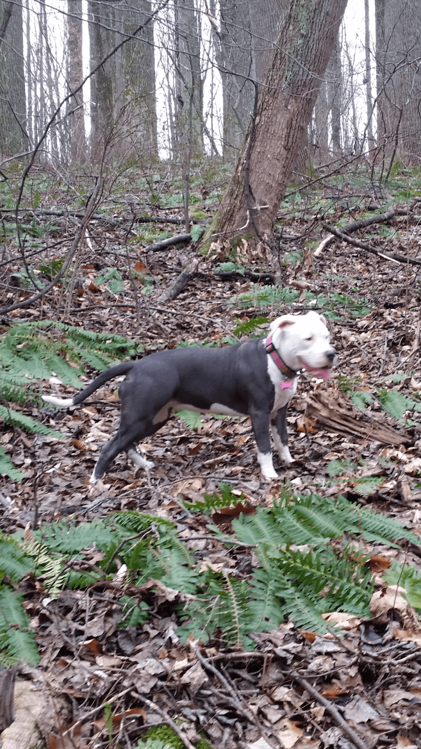 pitbull puppies for sale in Maryland Classifieds & Buy and ...