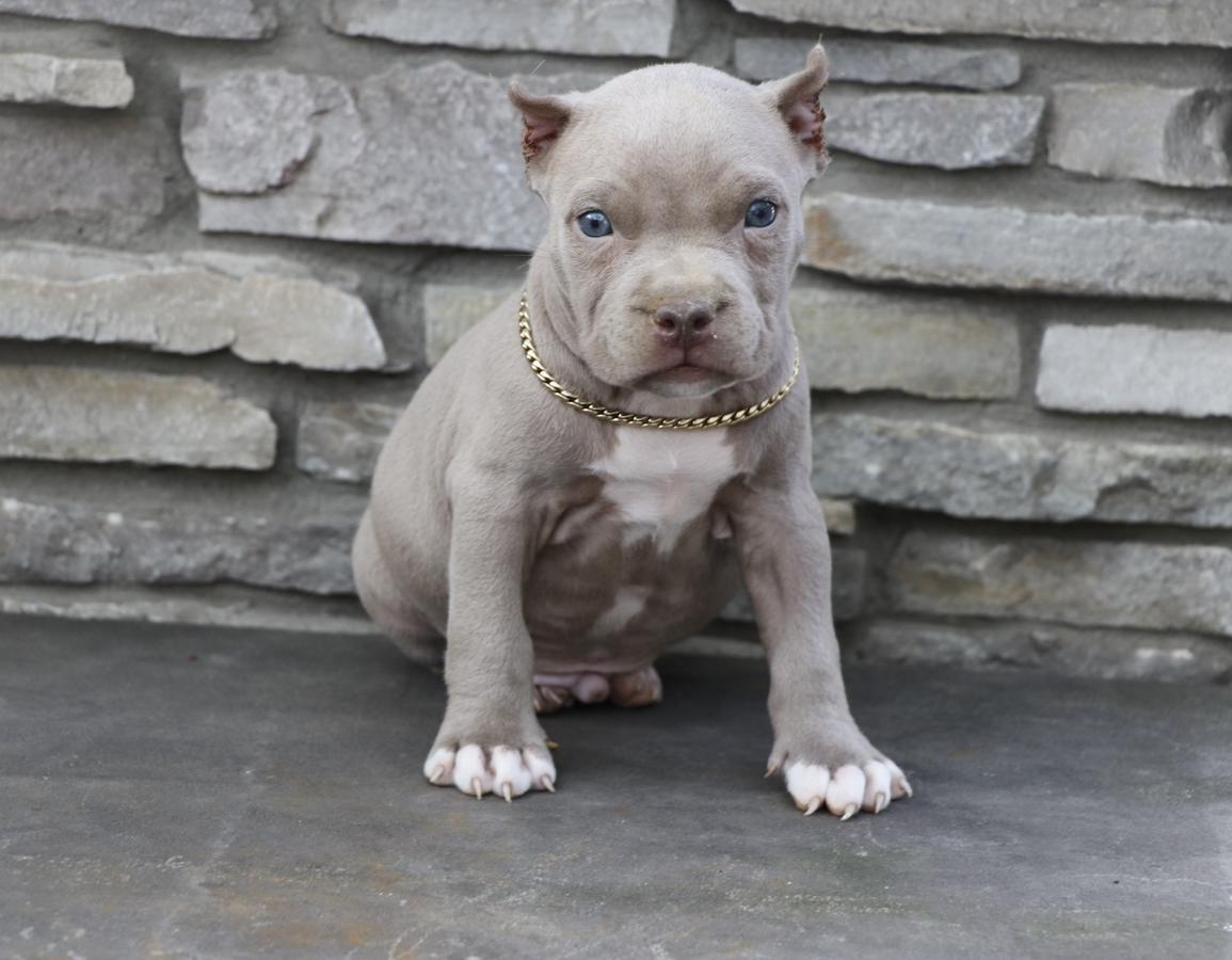 American Pit Bull Terrier Puppies For Sale Denver Co 241405