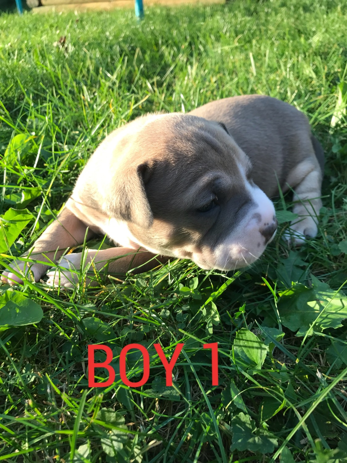 pittbul Puppies For Sale In Lagos - Pets - Nigeria