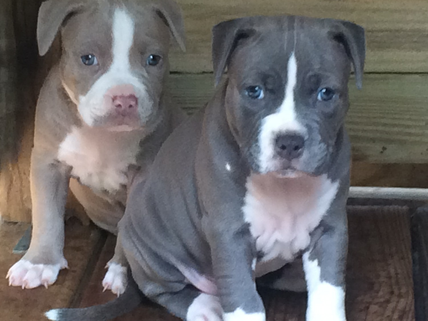 Blue nose pitbull puppies | Pitbull puppies for sale In New Zealand
