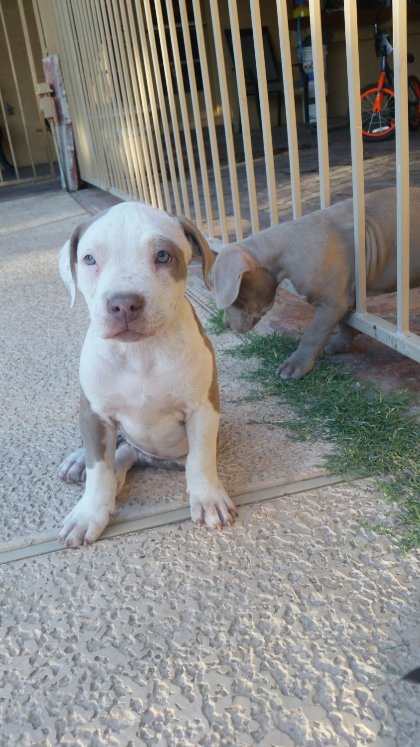 Blue Nose Bully Pitbull Puppies Price 300 For Sale In ...