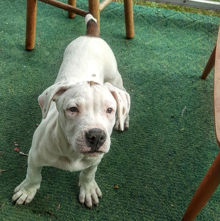 bull terrier puppies for sale in pa american pit bull terrier puppies for sale philadelphia 6907