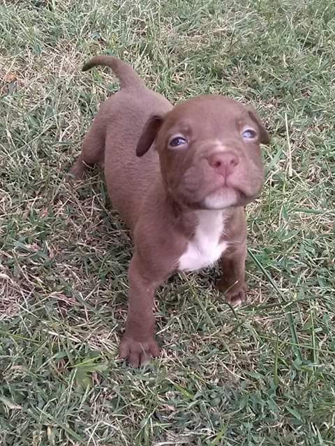 American Pit Bull Terrier Puppies For Sale | Peoria, IL ...