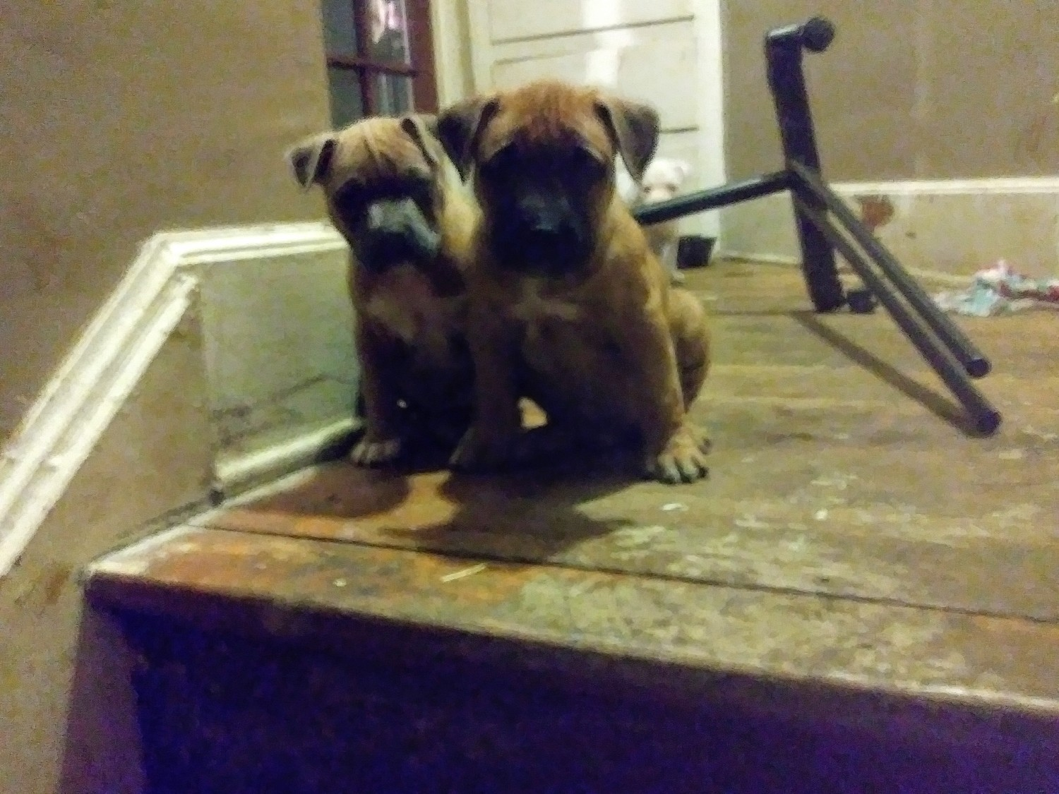 American Pit Bull Terrier Puppies For Sale | Detroit, MI ... | 4160 x 3120 jpeg 3134kB