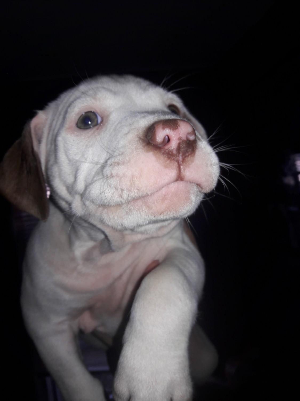 American Pit Bull Terrier Puppies For Sale Oak Park Mi