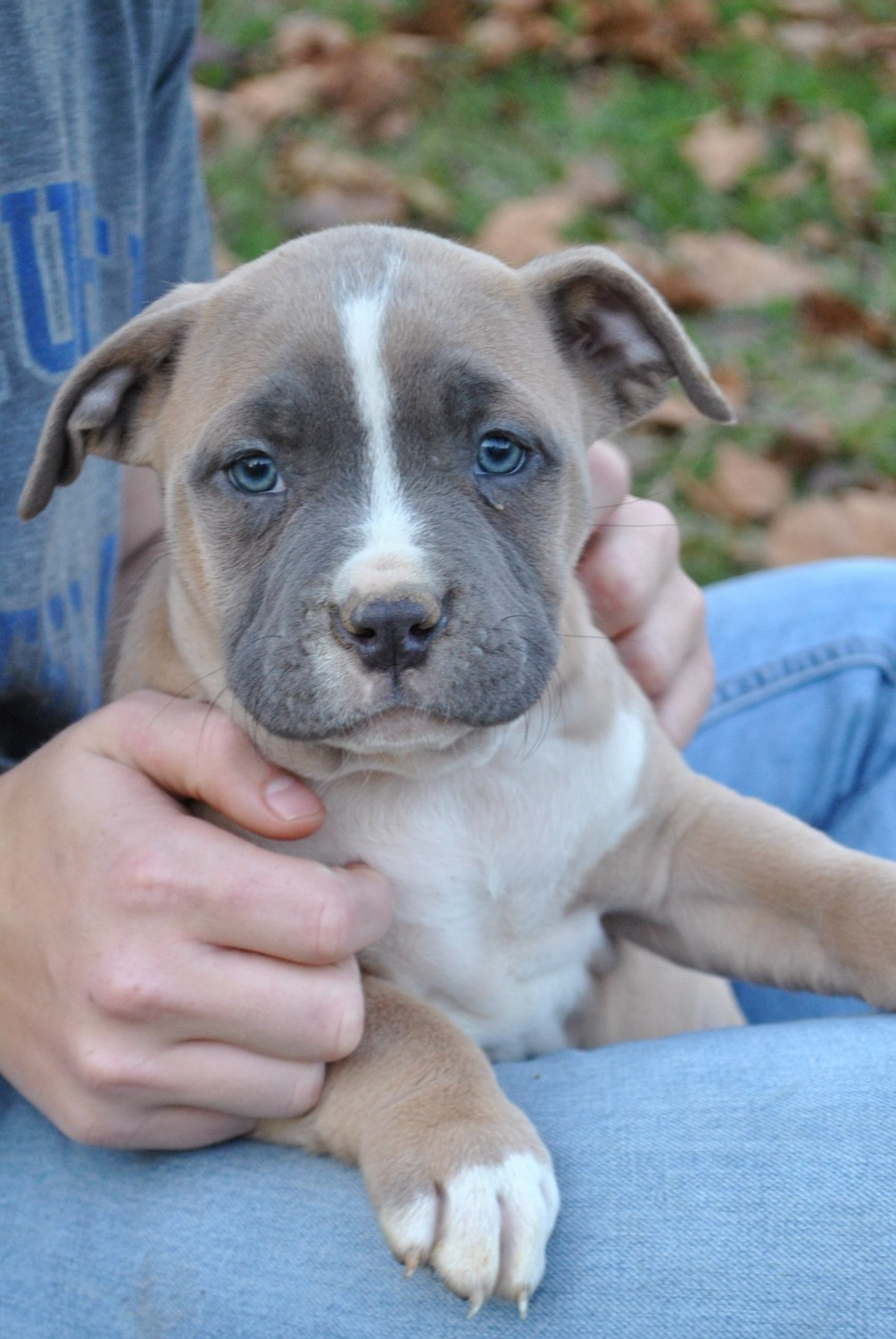 Buy Puppies For Sale Pitbull In Russia