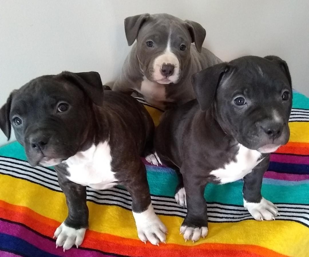 puppies American Pit Bull Terrier for sale in Sweden