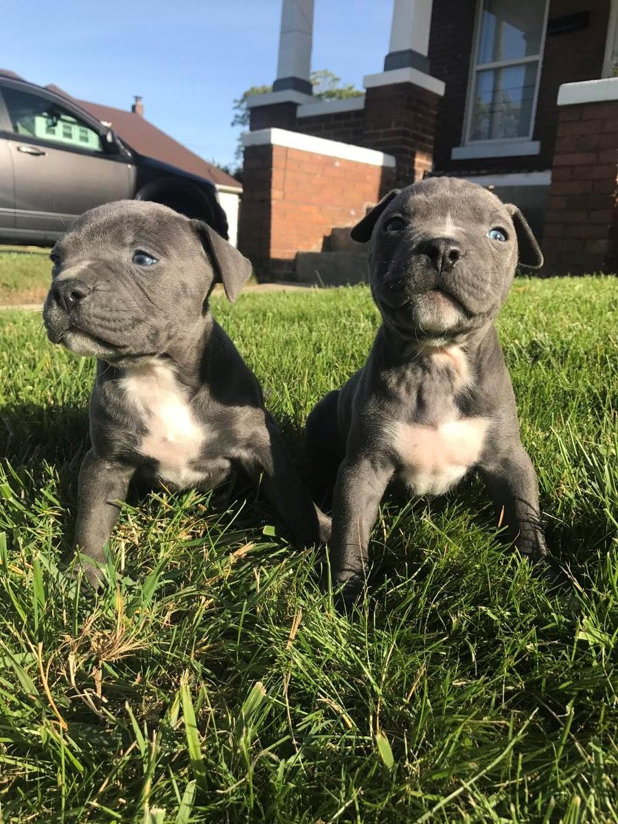American Pit Bull Terrier Puppies For Sale | Louisville, KY