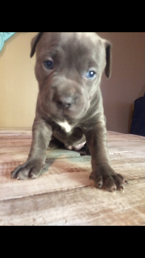 bull terrier puppies for sale in pa american pit bull terrier puppies for sale philadelphia 3846