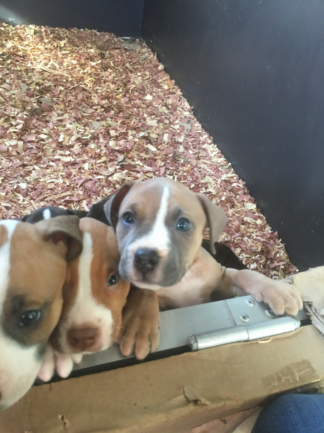 pitbull puppies for sale in indiana american pit bull terrier puppies for sale indianapolis 190