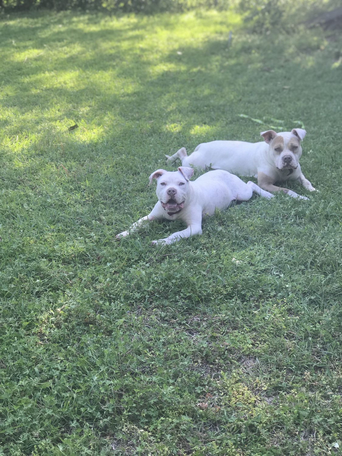 American Pit Bull Terrier Puppies For Sale Montgomery Al 286105