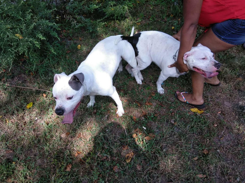 American Pit Bull Terrier Puppies For Sale | Trenton, NJ #286537
