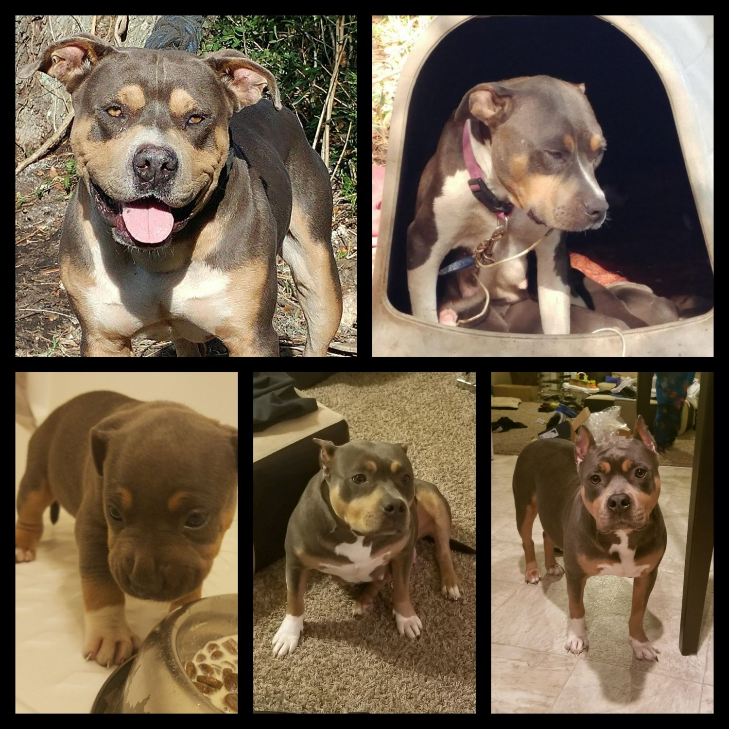 American Pit Bull Terrier Puppies For Sale Raleigh Nc 288295