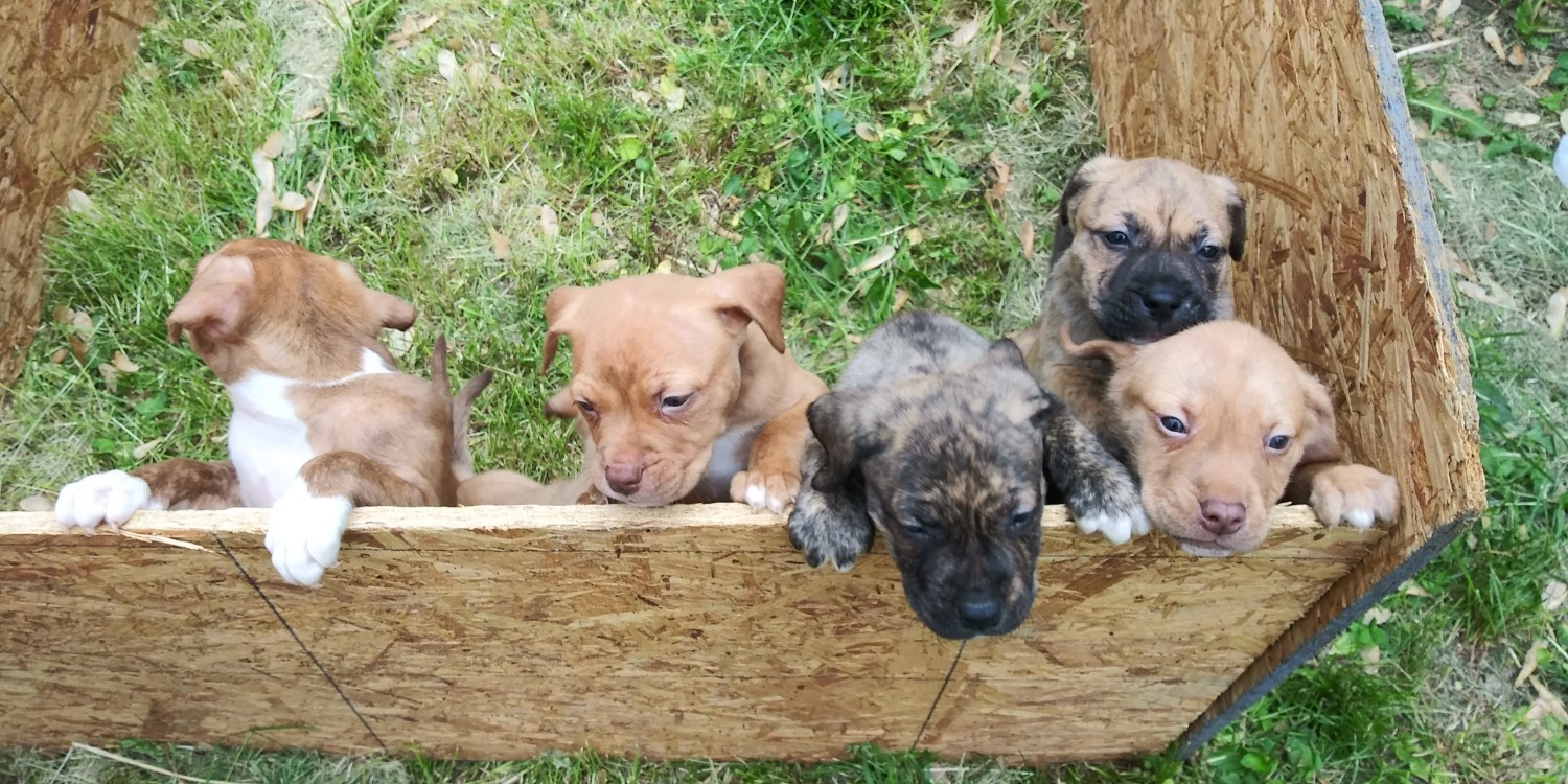 real american pitbull terrier breeders american pit bull terrier puppies for sale marion oh 3446