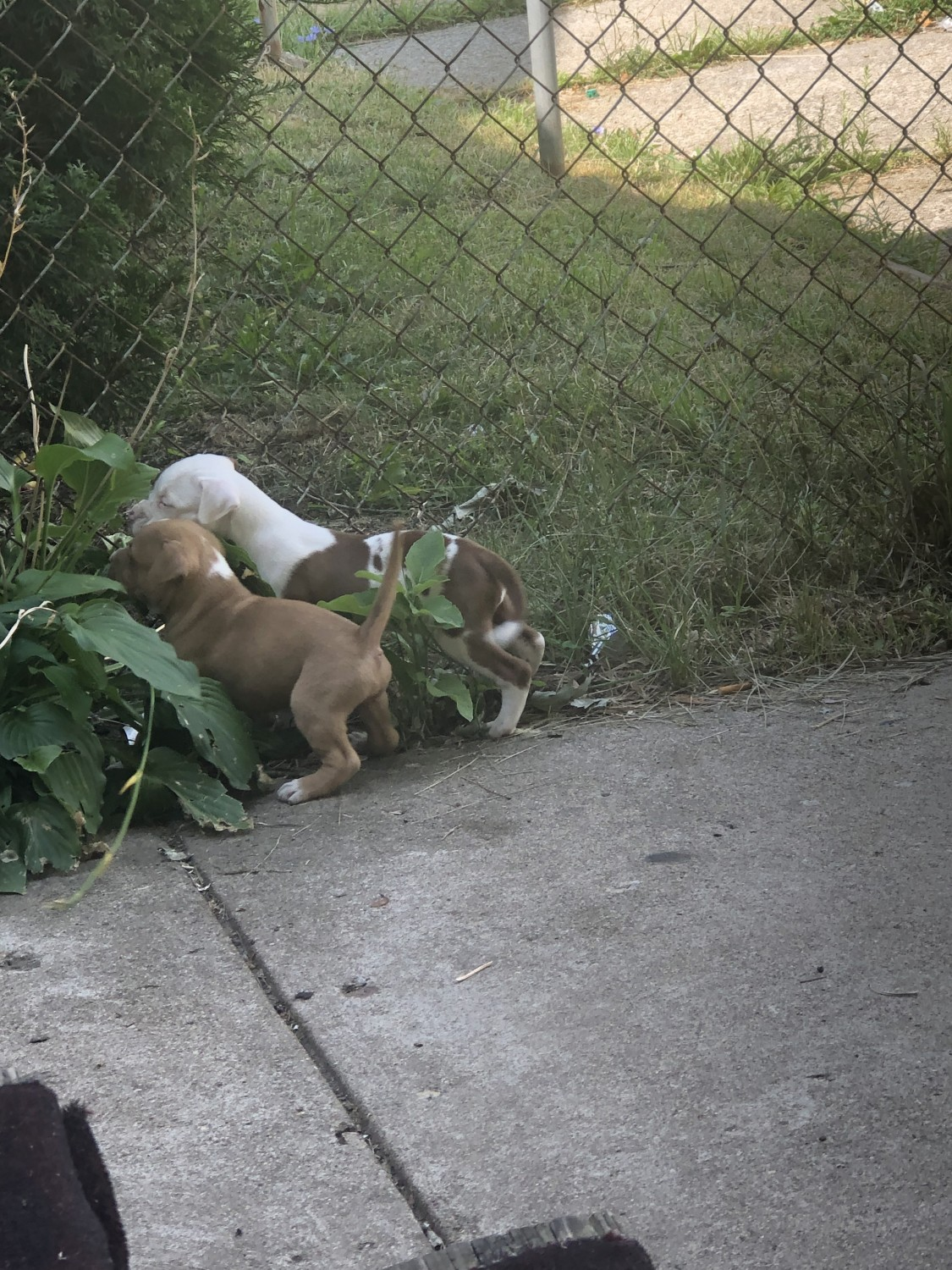 American Pit Bull Terrier Puppies For Sale | Detroit, MI ...