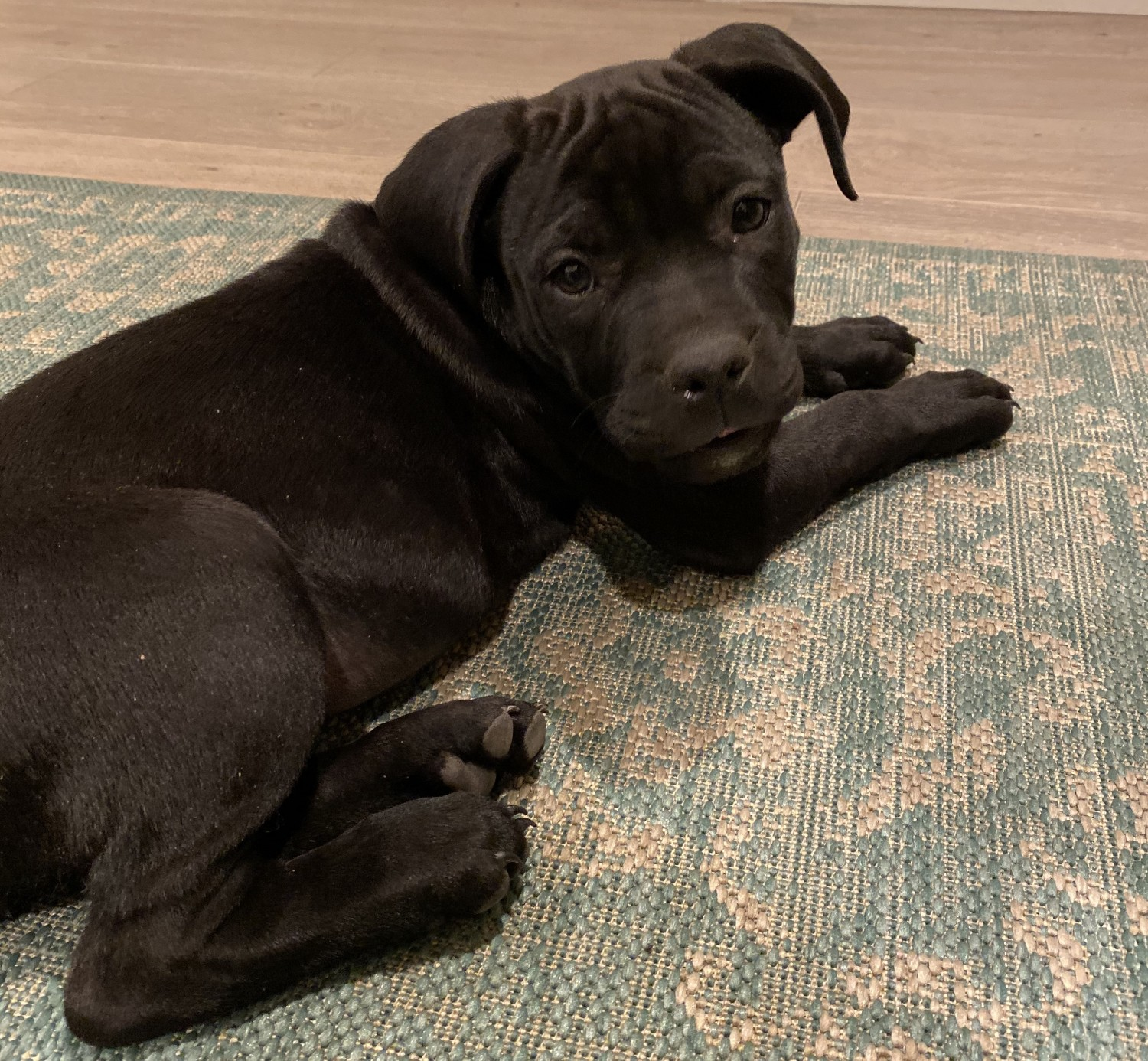 Chevy Chase Apartments: American Pit Bull Terrier Puppies For Sale
