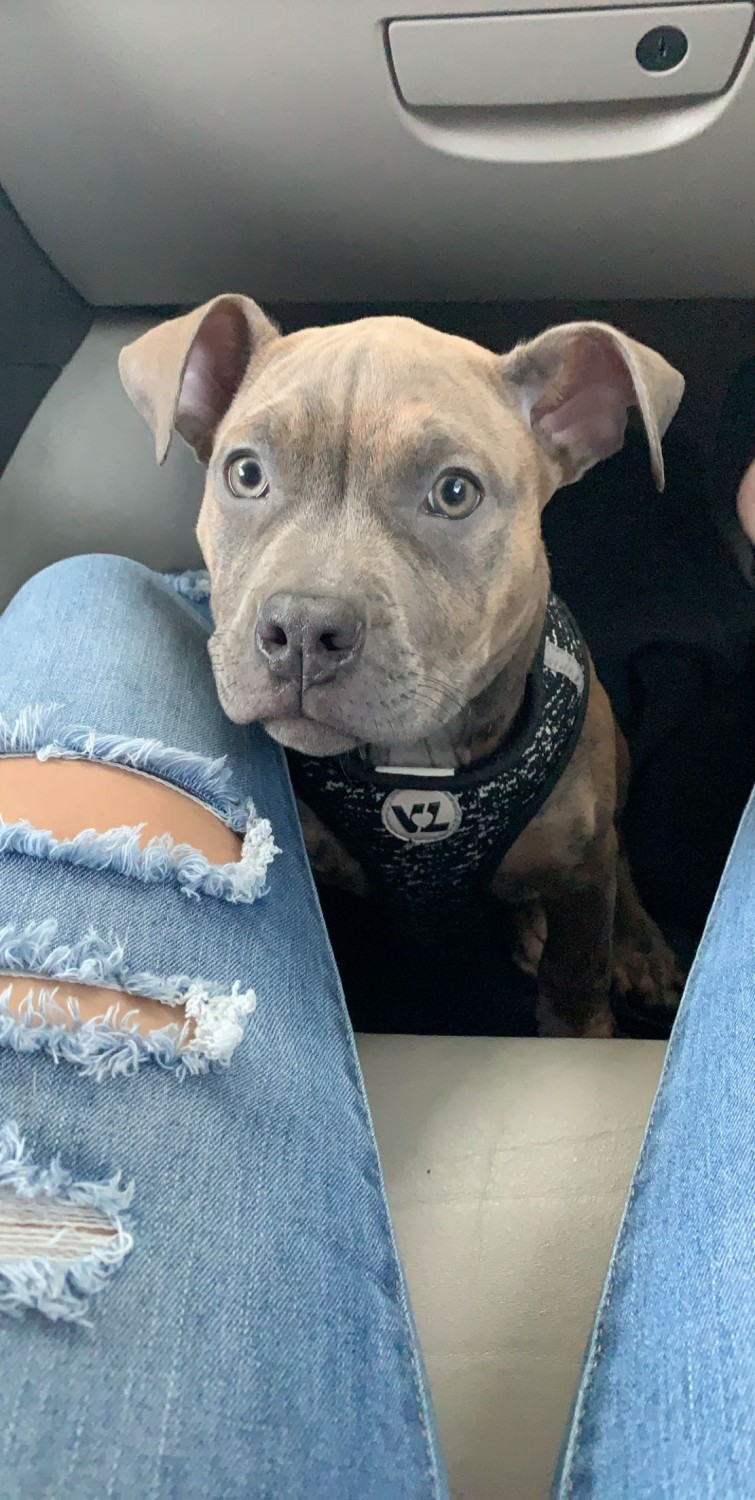 American Pit Bull Terrier Puppies For Sale   Jacksonville ...