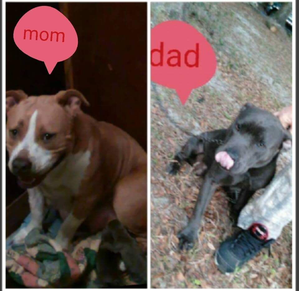 Mydiary: American Staffordshire Puppies For Sale In Florida