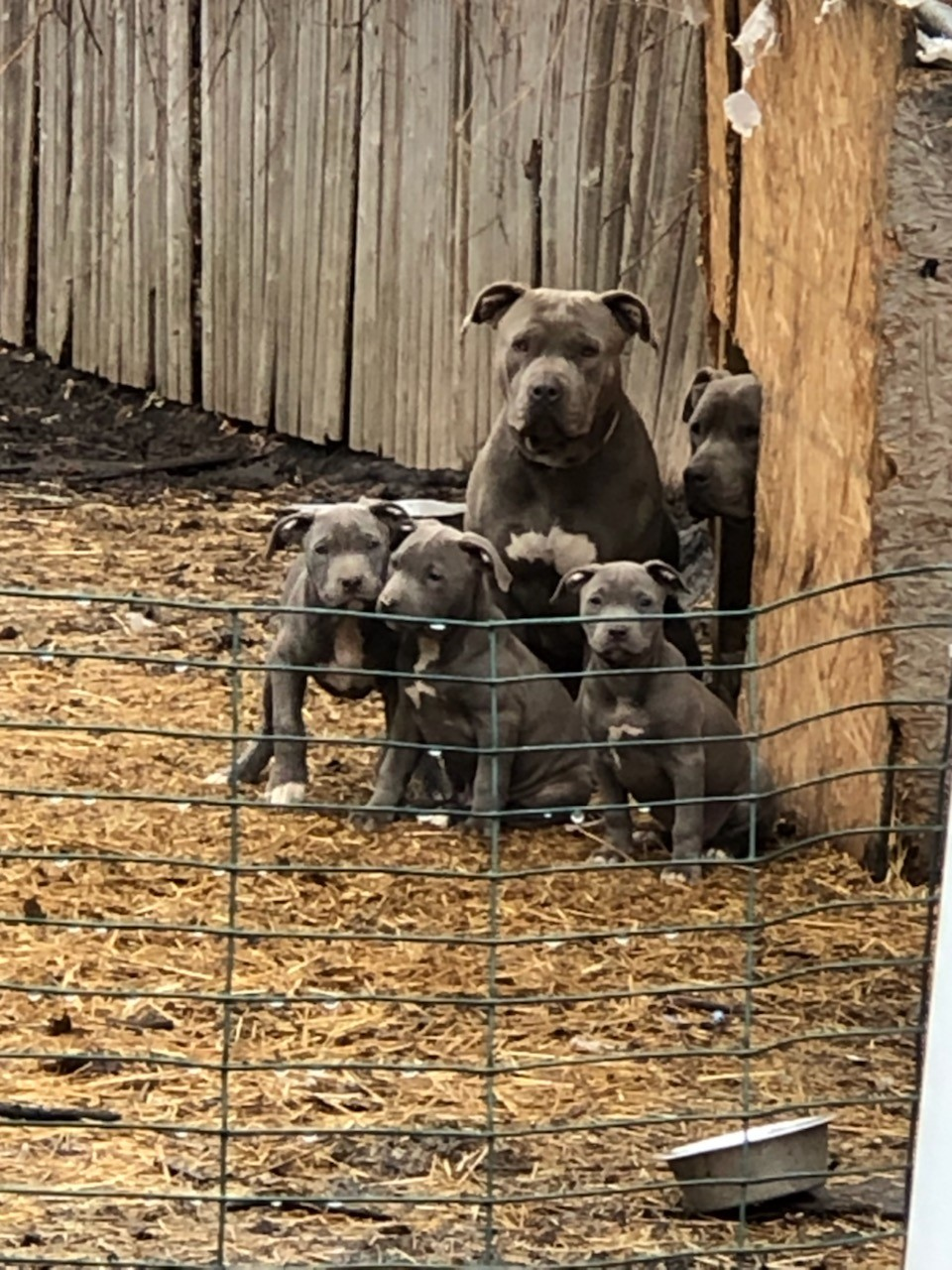 American Staffordshire Terrier Puppies For Sale | Detroit ...