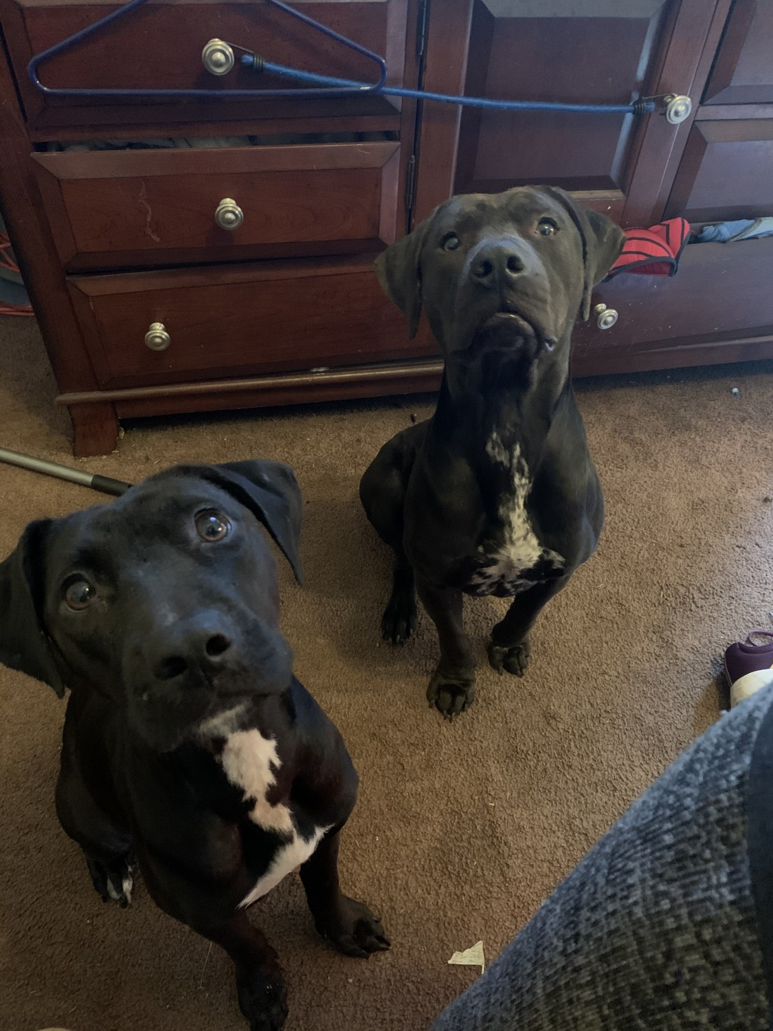 American Staffordshire Terrier Puppies For Sale   Lakeland ...