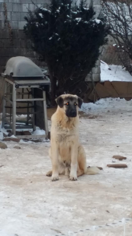 Anatolian Shepherd Pup...