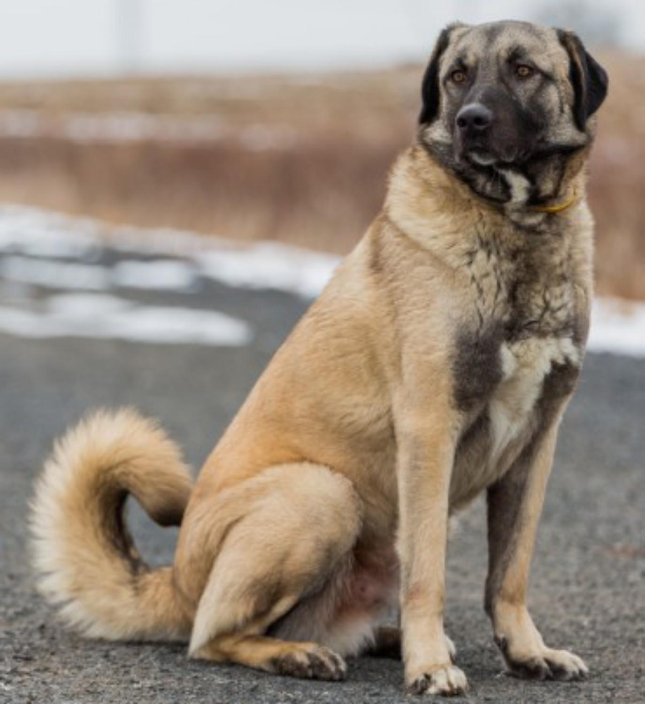 Anatolian Shepherd Dog Breed Information, Images ...