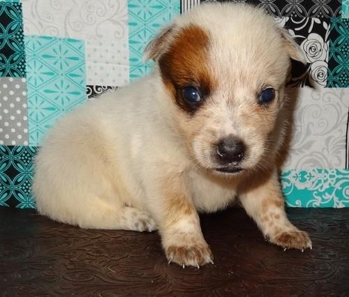 Appenzell Mountain Dog Puppies For Sale Colorado Springs