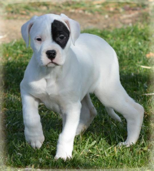 Argentine Dogo Puppies For