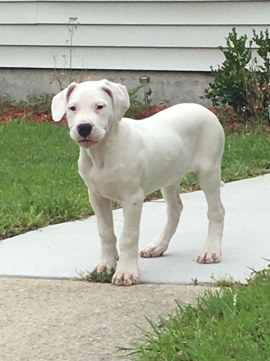 Argentine Dogo Puppies For Sale | Jacksonville, NC #275936