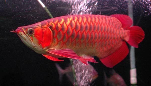 Arowana fish price in bangalore dating 3