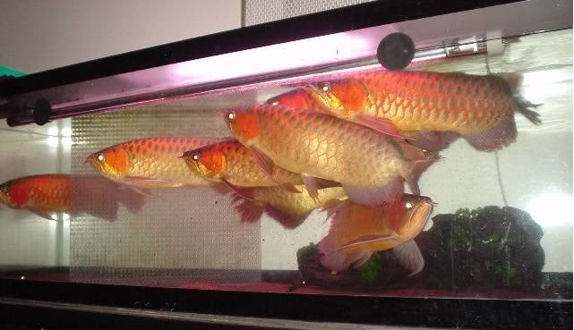 Arowana fishes for sale route 35 nj 194749 petzlover for Red arowana fish for sale in usa