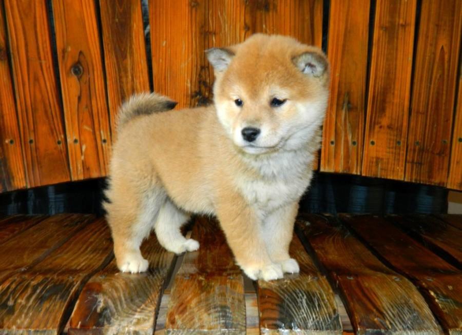 Atlas Terrier Puppies For Sale Omaha Ne 138631