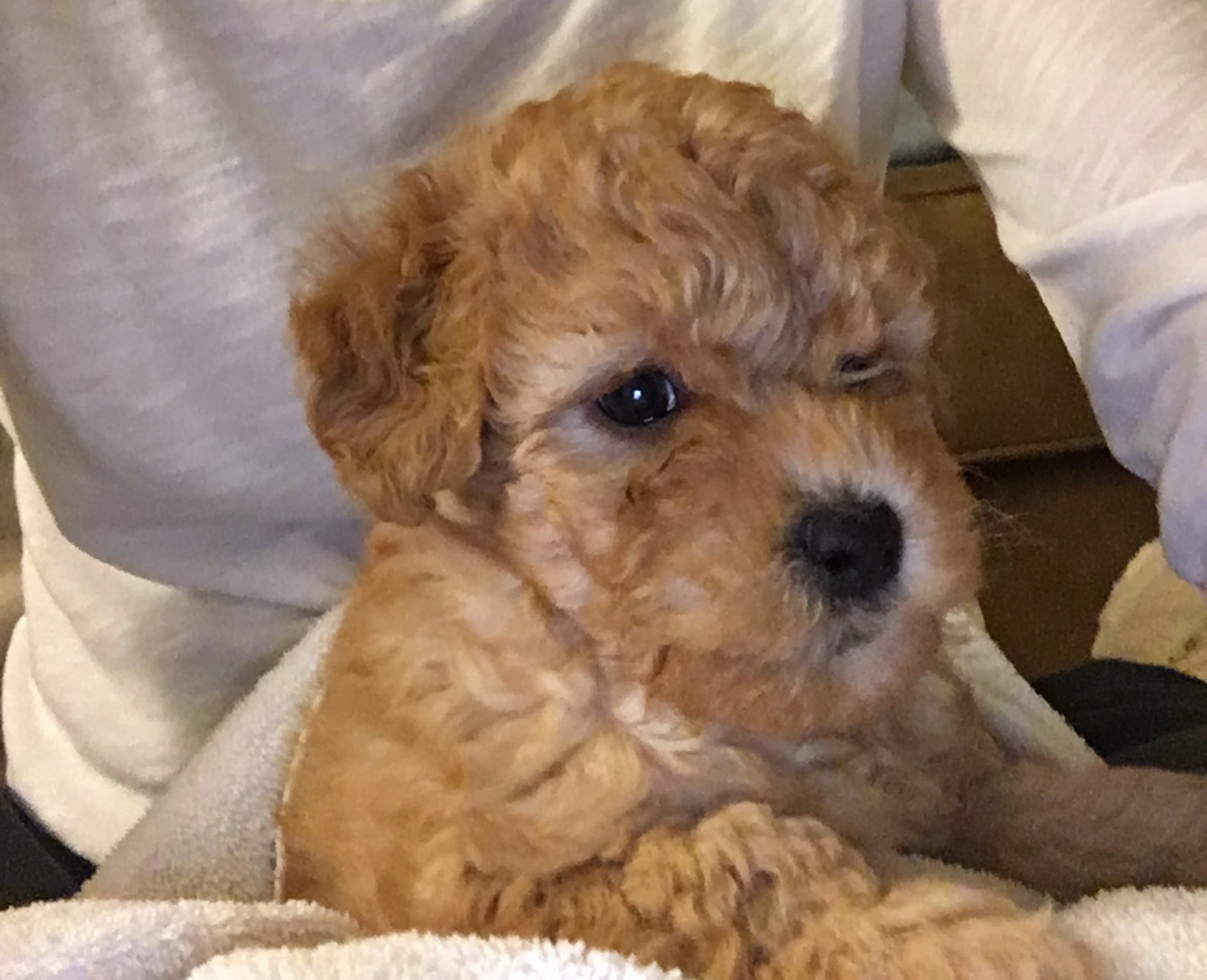 Aussie Doodles Puppies For Sale Cleveland Oh 180097