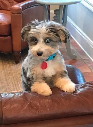 Aussie Doodles Puppies For Sale Jacksonville Fl 210967