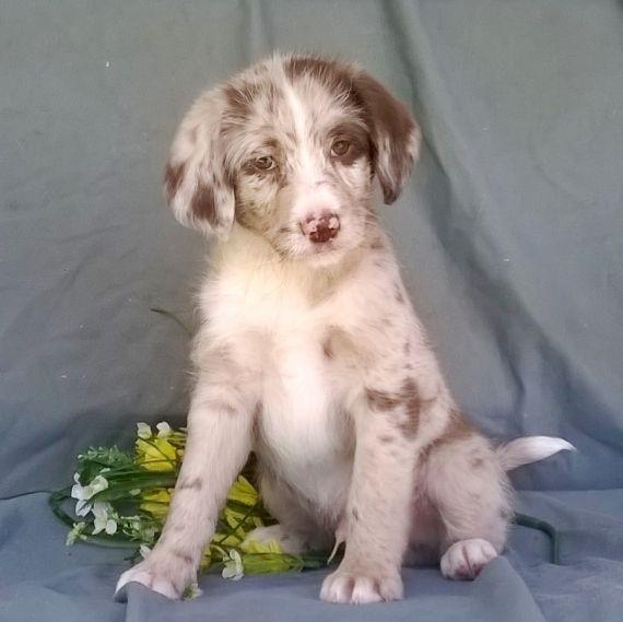 Aussie Doodles Puppies For Sale Hartford Ct 246757