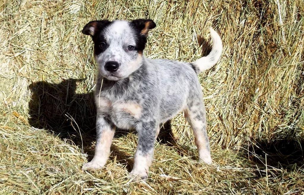 Australian Cattle Dog Puppies For Sale Manassa Co 287333