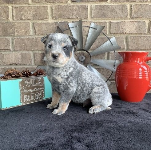 Australian Cattle Dog Puppies For Sale Rockford Il 295029
