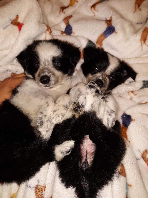 Australian Collie Puppies For Sale | Paso Robles, CA #282350