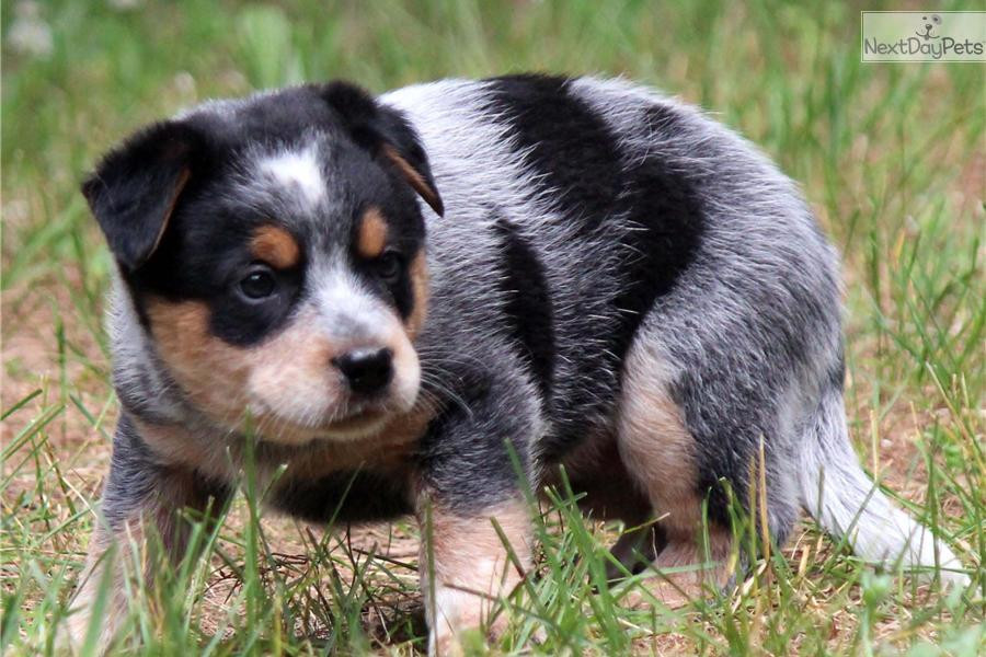 Trained Cattle Dogs For Sale