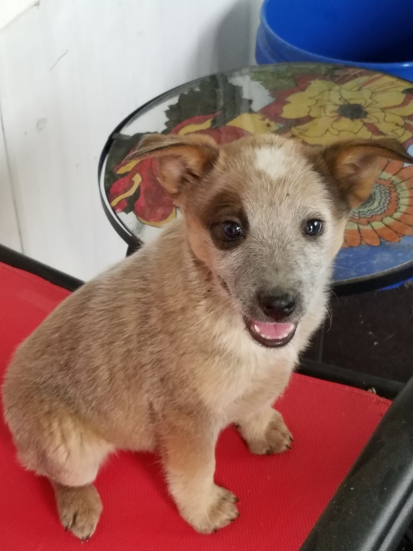Australian Red Heeler Puppies For Sale Peyton Co 241458