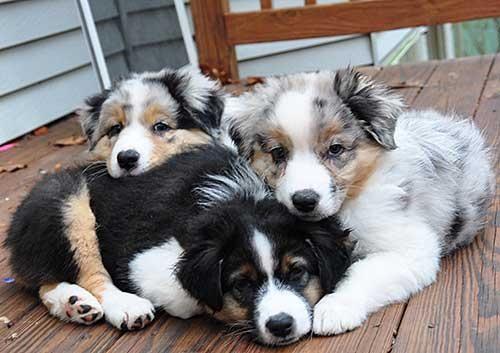 Australian Shepherd Puppies For Sale | Chula Vista, CA #134306