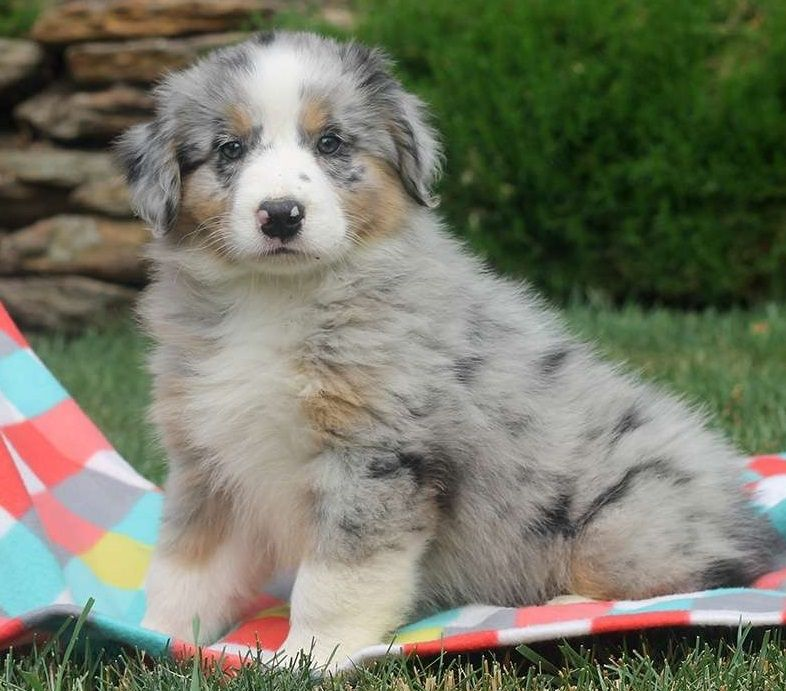 Australian Shepherd Puppies For Sale | Las Vegas, NV #215686