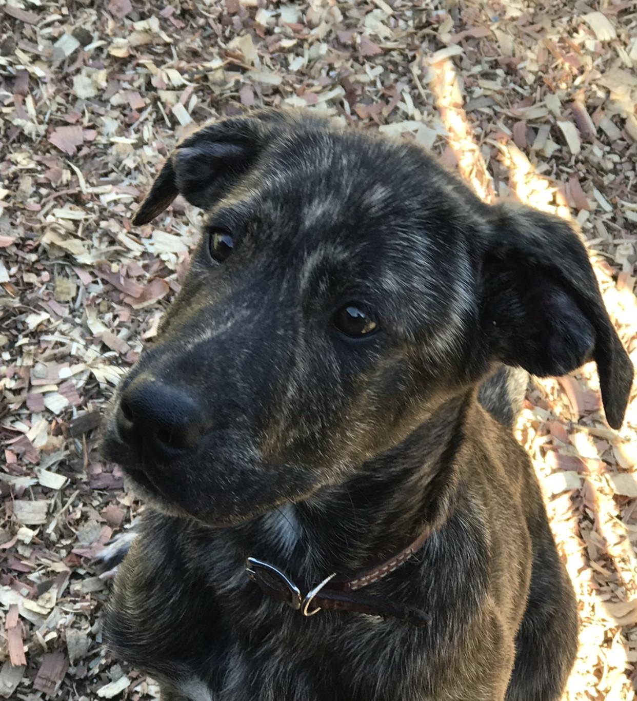 Australian Shepherd Puppies For Sale | Detroit, MI #237236
