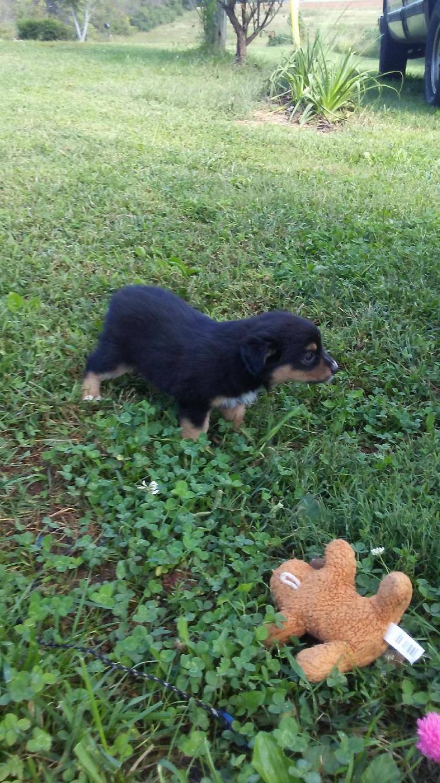 Australian Shepherd Puppies For Sale Yadkinville Nc 284576