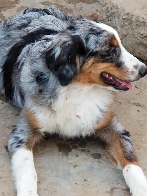 Australian Shepherd Puppies For Sale | Newport Beach, CA ...