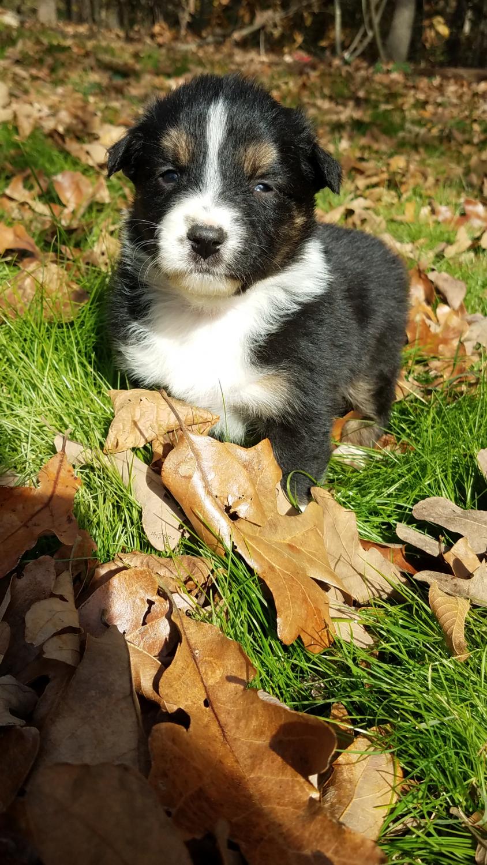 Australian Shepherd Puppies For Sale Marshville Nc 286520