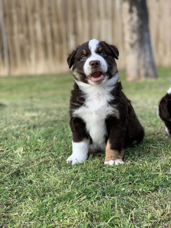 australian shepherd puppies for sale in texas
